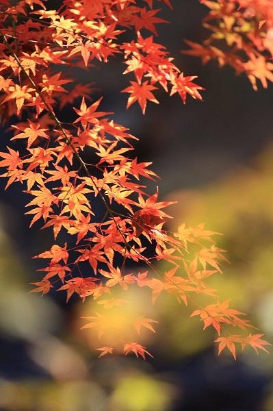 修善寺の紅葉の見頃